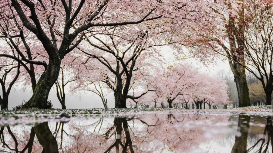 cherry tree and water